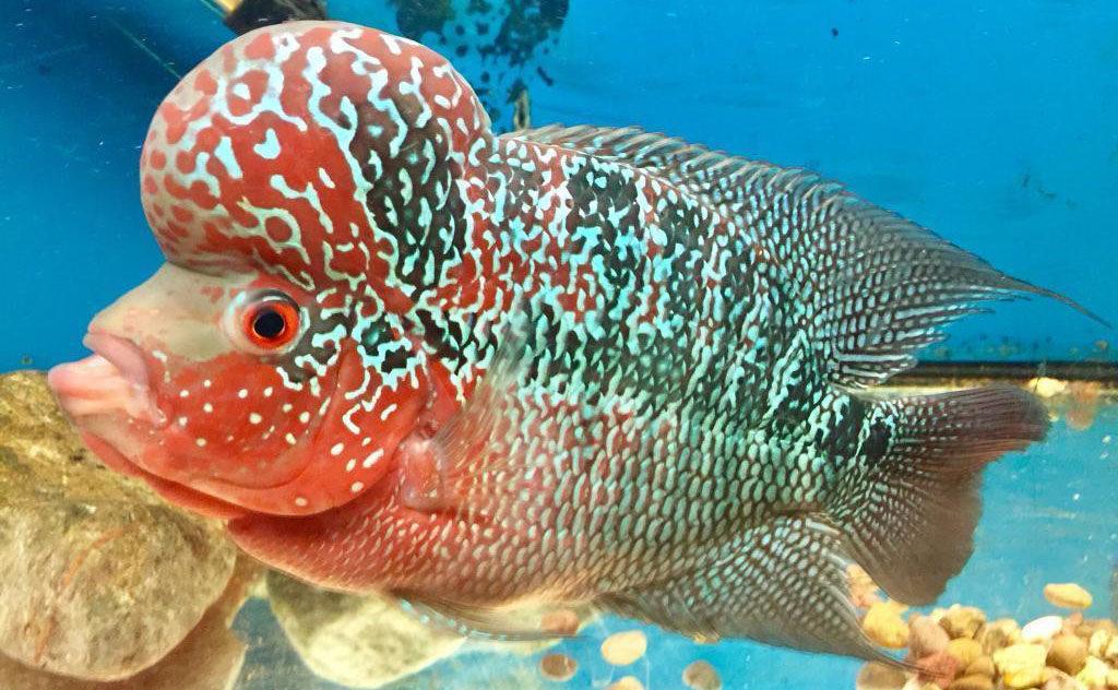Can Flowerhorn Fish Live with Oscar? | Flowerhorn cichlid fish