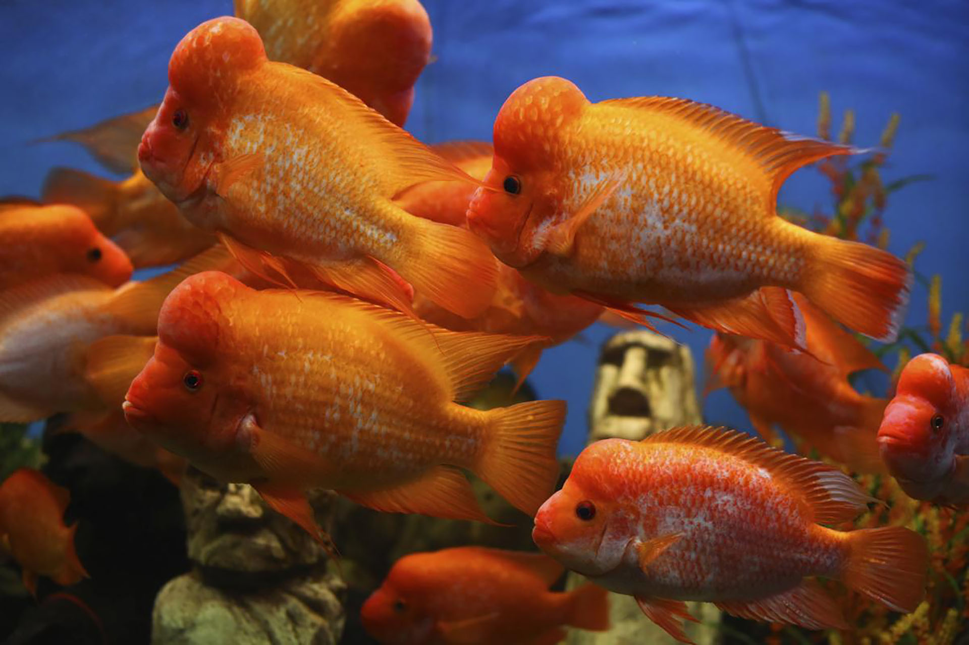 How Long Do Flowerhorn Fish Live - Flowers Healthy