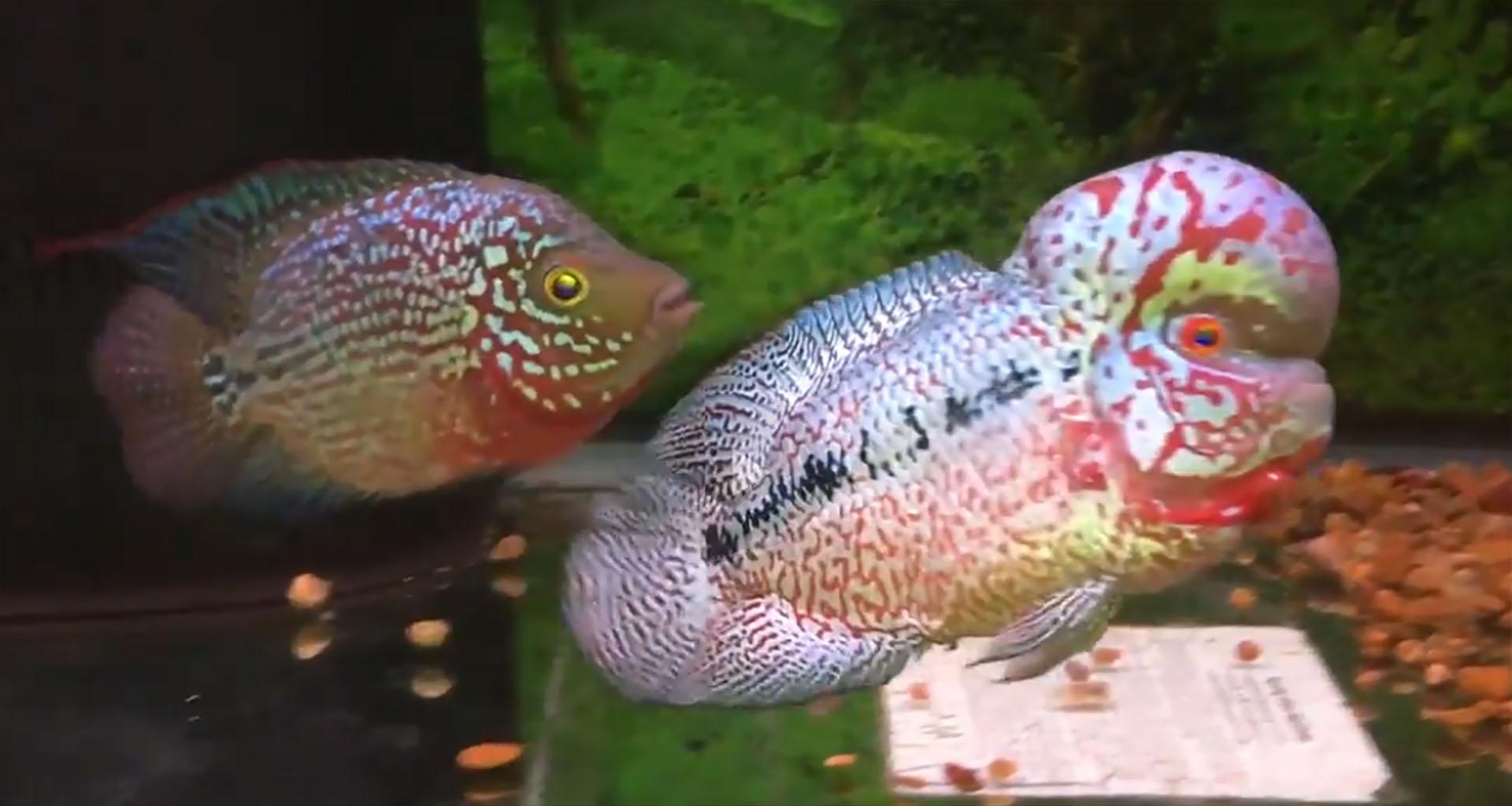 Sexing Flowerhorn Fish – How To Do That | Flowerhorn