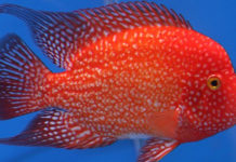 Flowerhorn average price by region | Flowerhorn