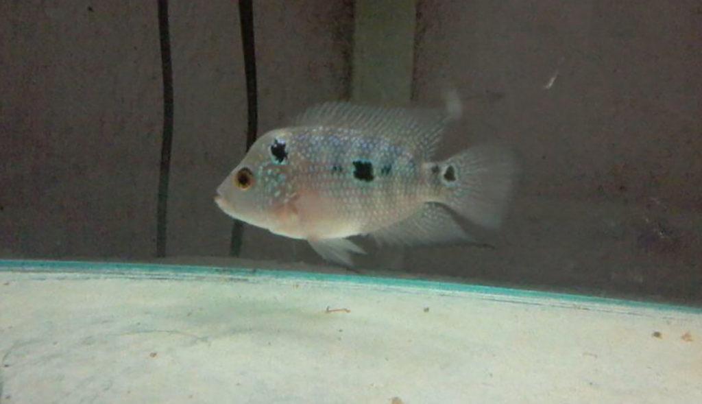 Flowerhorn fish – Questions Answered | Flowerhorn