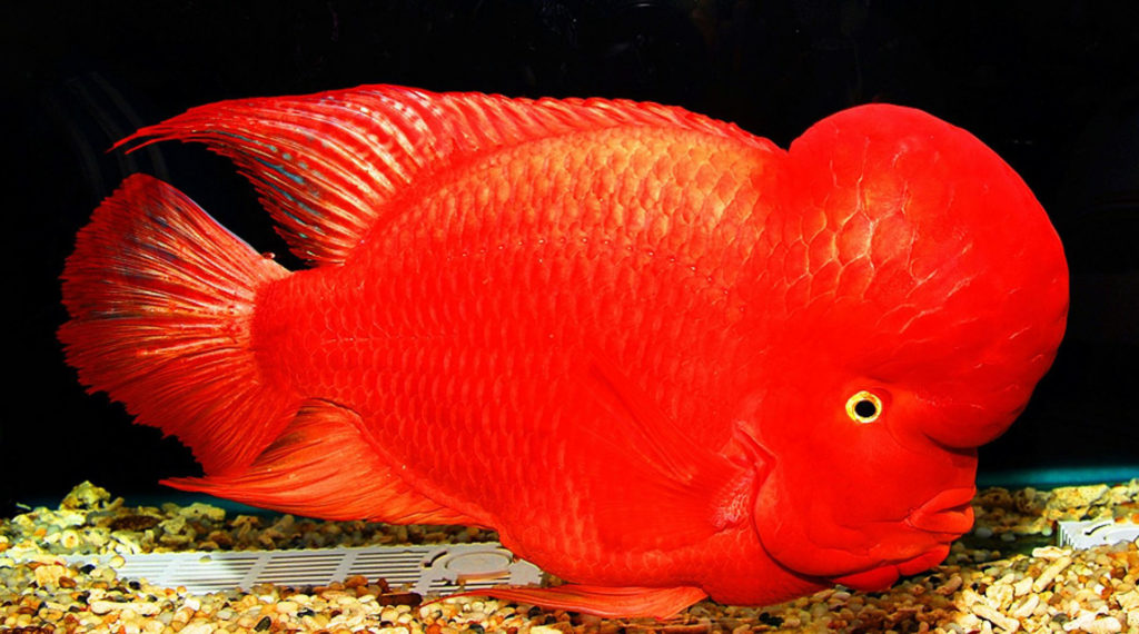 Tips to care Flowerhorn fish | Flowerhorn